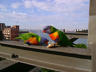 Beautiful Birds on Harbour Bridge