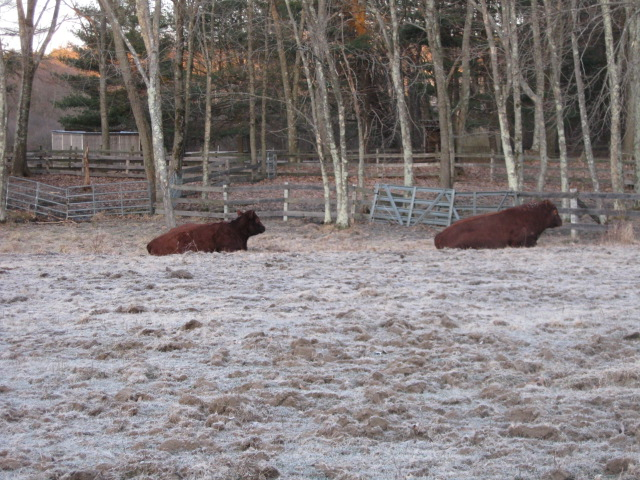 Two cattle